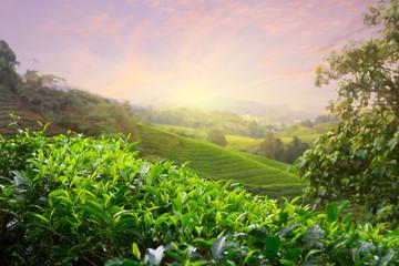 Tea plantation at Cameron Highlands, Malaysia