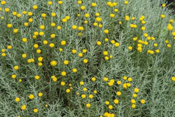 santoline, Santolina chamaecyparissus