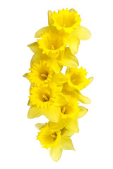 Spring daffodils border or frame background