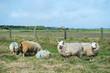 Sheep at Texel island