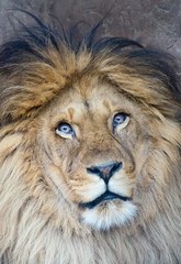 Portrait of a lion (P. Leo)