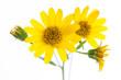 Leinwandbild Motiv Arnika (Arnica montana) Blüten im Detail