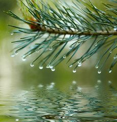 Water drops on fir tree reflected in the water