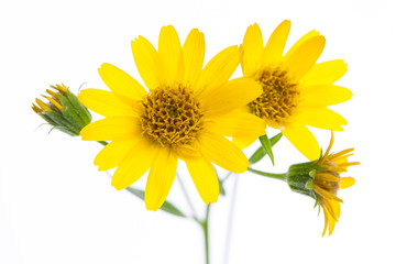 Arnika (Arnica montana) Blüten im Detail