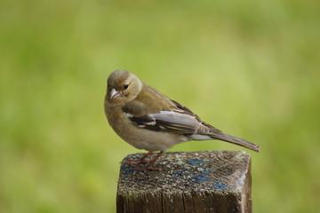 Buchfink auf Zaunpfahl
