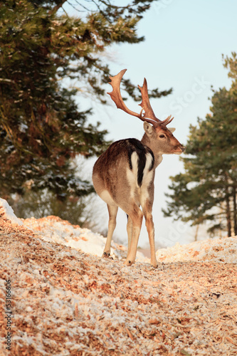 Winter forest with deer. Blue sky.