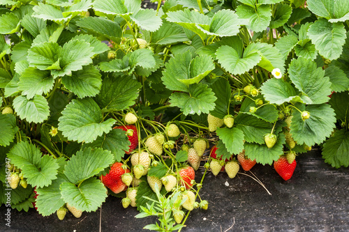 Closeup of growing fresh organic strawberries