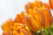 Gelbe Tulpen vor weissem Hintergrund 3