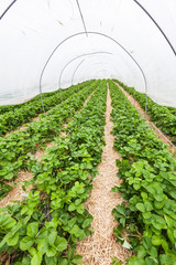 Large greenhouse with rows of fresh organic strawberry