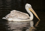 Beautiful Pelican swimming in the water