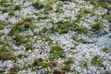 Big ice balls hail on grass