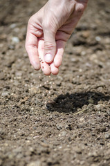 Closeup of sowing