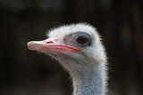 close up of ostrich