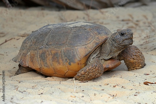 Papiers peints Tortue Gopher Tortoise (Gopherus polyphemus)