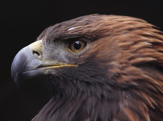 Golden Eagle Side View (Aquila chrysaetos)