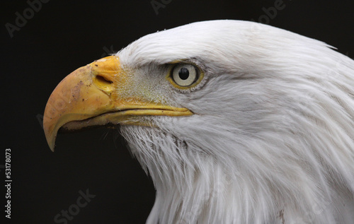 Bald Eagle Side View (Haliaeetus leucocephalus)