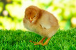 Little chicken on grass on bright background