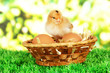Little chicken with eggs in wicker basket