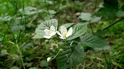 Flowers of wild raspberry