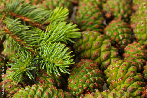 Green cones and fir tree, close up