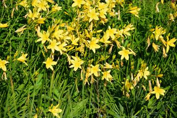 viele Taglilien gelb
