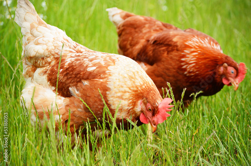 Brown chicken in grass