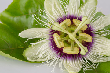 Passion Fruit Flower Closed-up