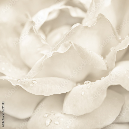 Abstract macro shot of beautiful cream rose flower with drops © PerfectLazybones