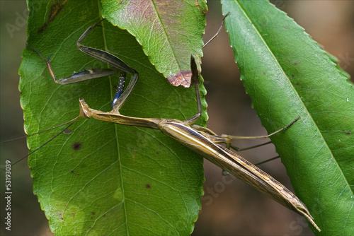 mantodea  in  bush