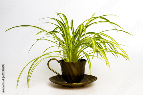Spider plant in retro tea cup