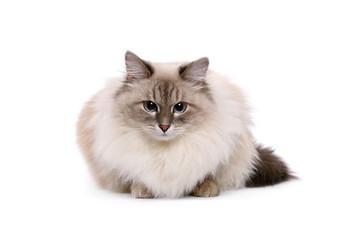 Neva Masquerade cat on a white background
