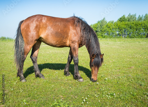 Grazing brown horse in the sunny pasture