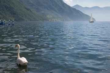 Cigno e barca a vela sul lago d'Iseo