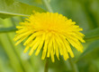 Macro of yellow dandelion