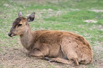 Fallow deer lying down