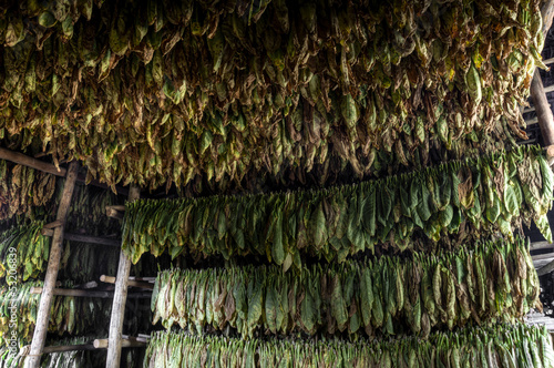 Drying of tobacco leaves, Vinales, Cuba