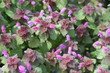 red dead nettle (Lamium purpureum)