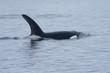 Orca in Open Ocean