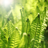 Fototapety Young fern leaves