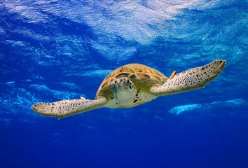Green Sea Turtle swimming in the ocean