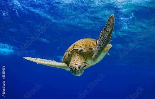 Green Sea Turtle descending into the blue