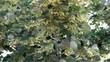 Branch of fresh linden flowers