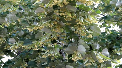 Branch of fresh linden flowers