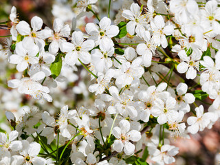 many flowers of cherry tree