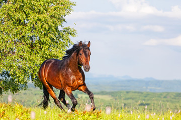 Bay horse skips on a meadow against mountains