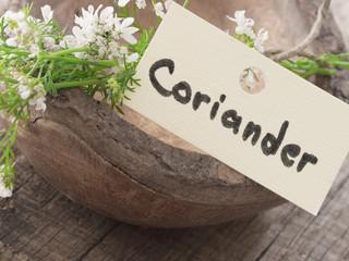 coriander in blossom