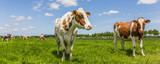 Fototapety Panorama of cows in a meadow