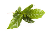 Leaves coffee tree isolated on white