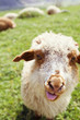 Funny sheep sticking out tongue
