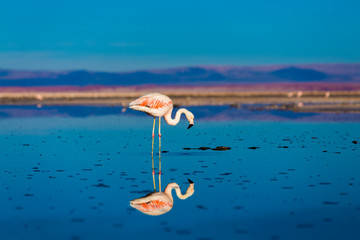 Flamingo at salar de atacama